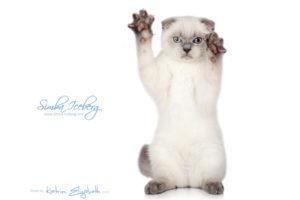Scottish Fold blue point kitten Simba Iceberg Flo (3 months old - 12.01.2016) (2)
