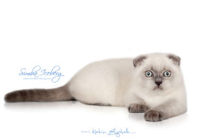 Scottish Fold blue point kitten Simba Iceberg Flo (3 months old - 12.01.2016) (3)