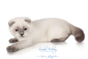 Scottish Fold blue point kitten Simba Iceberg Flo (3 months old - 12.01.2016) (4)