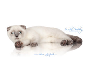 Scottish Fold blue point kitten Simba Iceberg Flo (3 months old - 12.01.2016) (5)