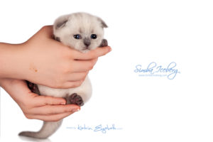 Scottish Fold blue point kitten Simba Iceberg Flo (30 days old - 05.11.2015) (1)