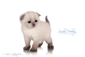 Scottish Fold blue point kitten Simba Iceberg Flo (30 days old - 05.11.2015) (2)