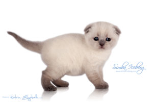 Scottish Fold blue point kitten Simba Iceberg Flo (30 days old - 05.11.2015) (3)