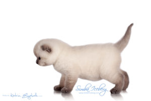 Scottish Fold blue point kitten Simba Iceberg Flo (30 days old - 05.11.2015) (4)