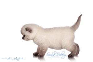 Scottish Fold blue point kitten Simba Iceberg Flo (30 days old - 05.11.2015) (4)
