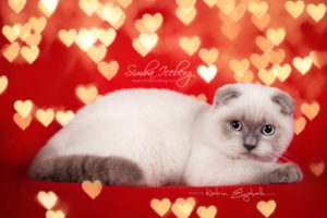 Scottish Fold blue point kitten Simba Iceberg Flo (4 months 1 week old - 13.02.2016) (3)