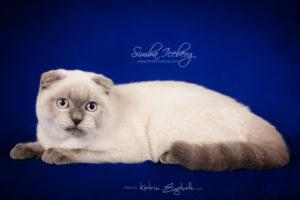 Scottish Fold blue point kitten Simba Iceberg Flo (5 months 2 weeks old - 22.03.2016) (1)