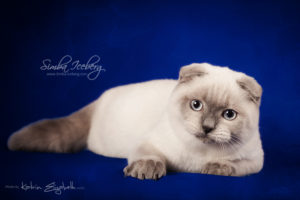 Scottish Fold blue point kitten Simba Iceberg Flo (5 months 2 weeks old - 22.03.2016) (10)