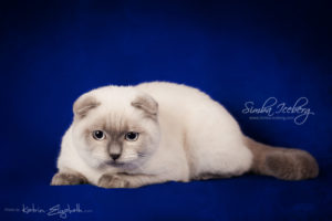 Scottish Fold blue point kitten Simba Iceberg Flo (5 months 2 weeks old - 22.03.2016) (3)