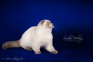 Scottish Fold blue point kitten Simba Iceberg Flo (5 months 2 weeks old - 22.03.2016) (5)
