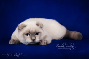 Scottish Fold blue point kitten Simba Iceberg Flo (5 months 2 weeks old - 22.03.2016) (6)