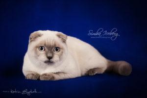Scottish Fold blue point kitten Simba Iceberg Flo (5 months 2 weeks old - 22.03.2016) (9)