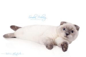 Scottish Fold blue point kitten Simba Iceberg Flo (6 months 3 weeks old - 01.05.2016) (1)