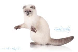 Scottish Fold blue point kitten Simba Iceberg Flo (6 months 3 weeks old - 01.05.2016) (2)