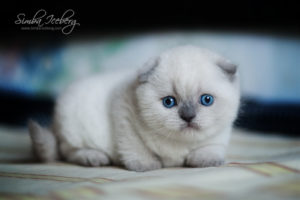 Scottish Fold blue point kitten SimbaIceberg Grant (1 month old - 10.05.2016) (1)