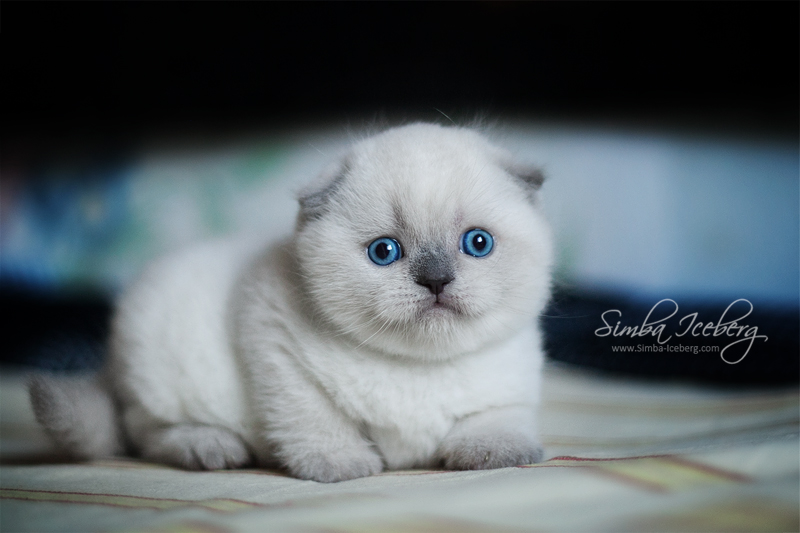 Scottish Fold blue point kitten SimbaIceberg Grant (1 month old - 10.05.2016) (2)