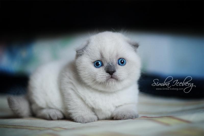 Scottish Fold blue point kitten SimbaIceberg Grant (1 month old - 10.05.2016) (2)