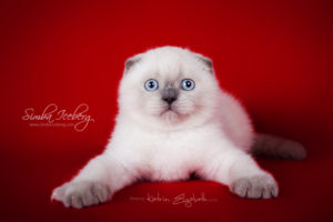 Scottish Fold blue point kitten SimbaIceberg Grant (2 months 2 weeks old - 25.06.2016) (1)