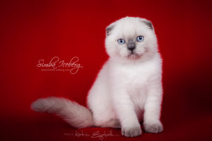 Scottish Fold blue point kitten SimbaIceberg Grant (2 months 2 weeks old - 25.06.2016) (4)