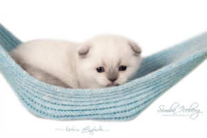 Scottish Fold blue point kitten SimbaIceberg Grant (26 days old - 01.05.2016)