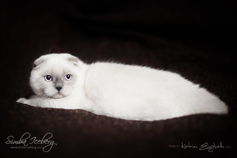 Scottish Fold blue point kitten SimbaIceberg Grant (5 months 1 week old - 18.09.2016) (1)