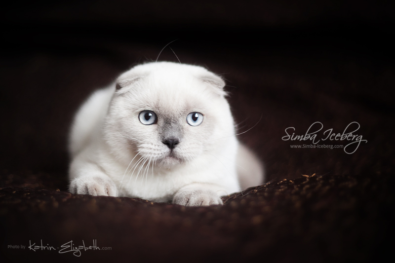 Scottish Fold blue point kitten SimbaIceberg Grant (5 months 1 week old - 18.09.2016) (2)