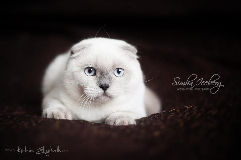 Scottish Fold blue point kitten SimbaIceberg Grant (5 months 1 week old - 18.09.2016) (2)