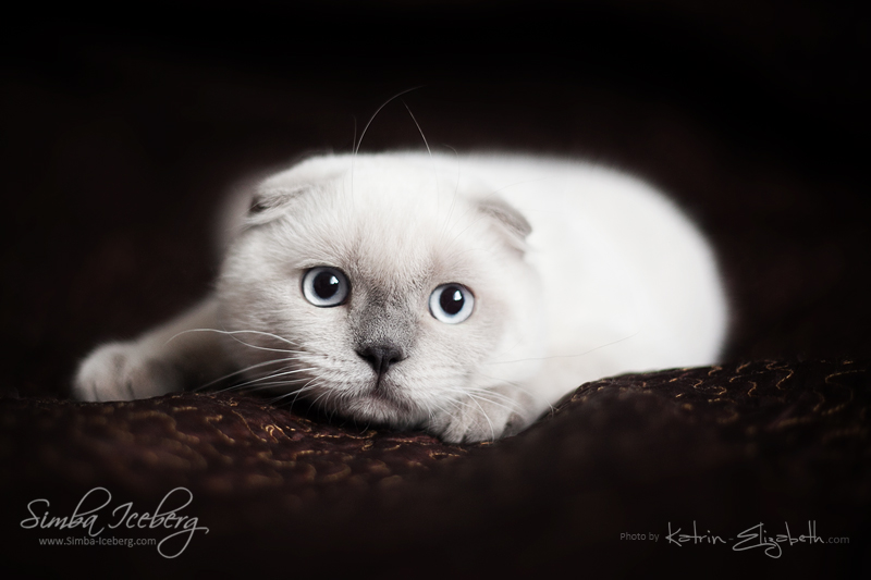 Scottish Fold blue point kitten SimbaIceberg Grant (5 months 1 week old - 18.09.2016) (3)