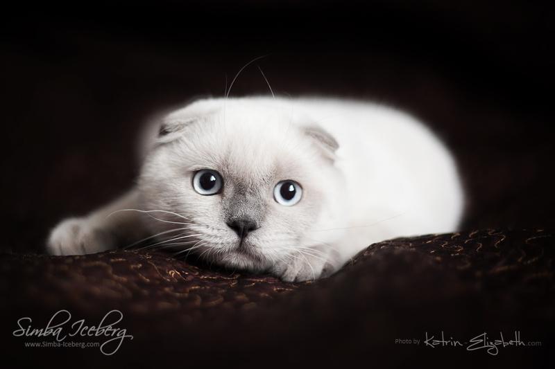Scottish Fold blue point kitten SimbaIceberg Grant (5 months 1 week old - 18.09.2016) (3)