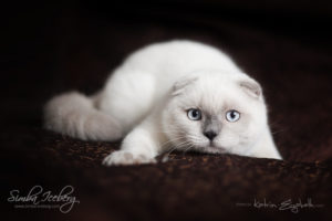 Scottish Fold blue point kitten SimbaIceberg Grant (5 months 1 week old - 18.09.2016) (4)