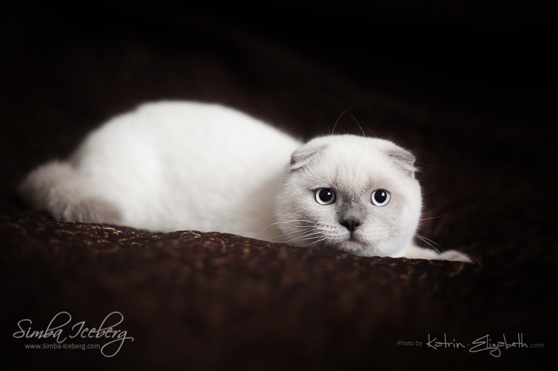 Scottish Fold blue point kitten SimbaIceberg Grant (5 months 1 week old - 18.09.2016) (5)