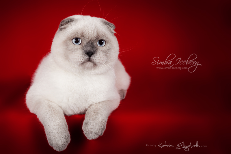 Scottish Fold blue point kitten SimbaIceberg Grant (6 months 3 weeks old - 30.10.2016) (2)