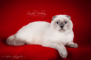 Scottish Fold blue point kitten SimbaIceberg Grant (6 months 3 weeks old - 30.10.2016) (5)