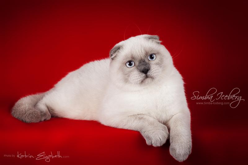 Scottish Fold blue point kitten SimbaIceberg Grant (6 months 3 weeks old - 30.10.2016) (6)