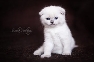 Scottish Fold blue point kitten SimbaIceberg Hera (1 month 1 week old - 31.03.2017) (1)