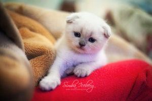 Scottish Fold blue point kitten SimbaIceberg Hera (1 month 1 week old - 31.03.2017) (3)