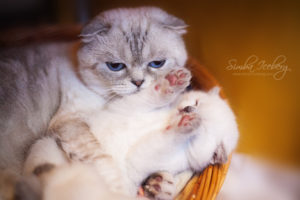 Scottish Fold blue point kitten SimbaIceberg Hera (1 month 1 week old - 31.03.2017) (5)