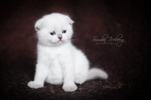Scottish Fold blue point kitten SimbaIceberg Hera (1 month 3 days old - 25.03.2017) (1)