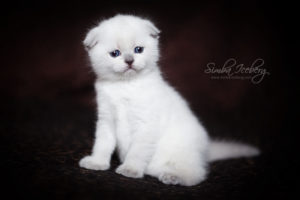 Scottish Fold blue point kitten SimbaIceberg Hera (1 month 3 days old - 25.03.2017) (10)
