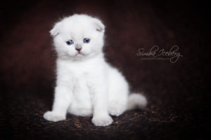 Scottish Fold blue point kitten SimbaIceberg Hera (1 month 3 days old - 25.03.2017) (2)