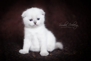 Scottish Fold blue point kitten SimbaIceberg Hera (1 month 3 days old - 25.03.2017) (3)