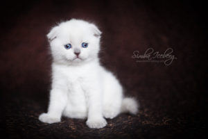 Scottish Fold blue point kitten SimbaIceberg Hera (1 month 3 days old - 25.03.2017) (4)