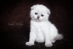 Scottish Fold blue point kitten SimbaIceberg Hera (1 month 3 days old - 25.03.2017) (5)
