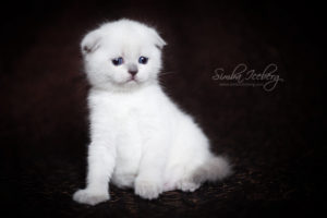 Scottish Fold blue point kitten SimbaIceberg Hera (1 month 3 days old - 25.03.2017) (6)