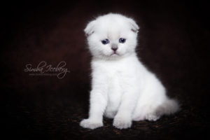 Scottish Fold blue point kitten SimbaIceberg Hera (1 month 3 days old - 25.03.2017) (7)