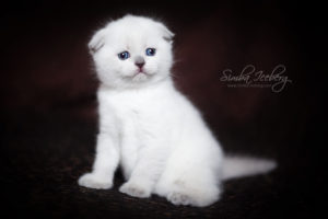 Scottish Fold blue point kitten SimbaIceberg Hera (1 month 3 days old - 25.03.2017) (9)