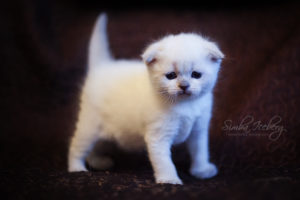 Scottish Fold blue point kitten SimbaIceberg Hera (1 month old - 22.03.2017) (1)
