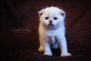 Scottish Fold blue point kitten SimbaIceberg Hera (1 month old - 22.03.2017) (2)