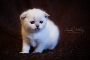 Scottish Fold blue point kitten SimbaIceberg Hera (1 month old - 22.03.2017) (3)