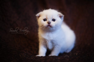 Scottish Fold blue point kitten SimbaIceberg Hera (1 month old - 22.03.2017) (4)
